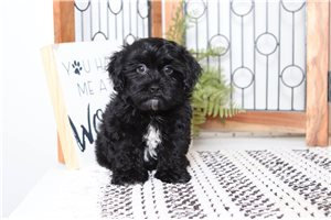 Freddy Shihpoo | Puppy at 9 weeks of age for sale