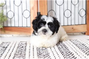 Otis Shihpoo | Puppy at 9 weeks of age for sale