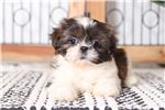 Picture of Candy – Stunning Little ACA Female Shih-Tzu Puppy