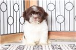 Picture of Hal – Loving Little Male CKC Shih-Tzu Puppy