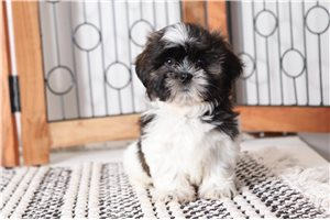 Picture of Dug Shih Tzu