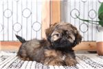 Picture of Tiger – Sweet Male CKC Shih-Tzu Puppy