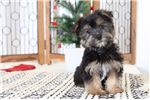 Picture of Frank - Male Morkie Puppy