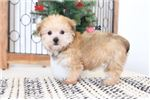 Picture of Beth- Cute Female Shorkie Puppy