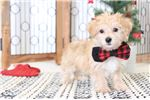 Picture of Jefferson - Male Morkie Puppy