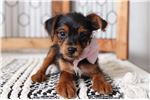 Picture of Piper – Sweet ACA Female Yorkie