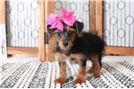 Picture of Princess – Gorgeous ACA Female Yorkie