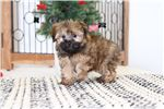 Picture of Berry- Sweet Female Shorkie Puppy