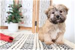 Picture of Forest - Male Shorkie Puppy