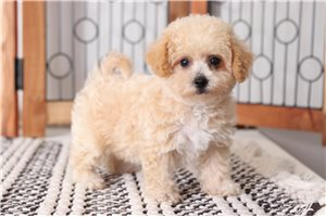 Puff Yorkiepoo | Puppy at 9 weeks of age for sale