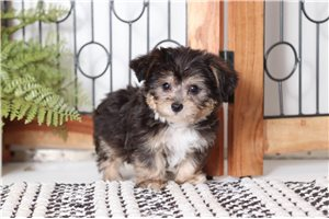 Wally Yorkiepoo | Puppy at 9 weeks of age for sale