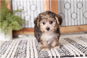 Trixie Yorkiepoo | Puppy at 9 weeks of age for sale