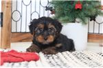 Picture of Theo- Loving Little ICA Male Yorkie