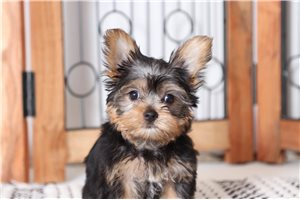 Picture of Jelly Yorkie