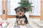 Picture of Vivienne- Precious Little ICA Female Yorkie