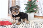 Picture of Prince- Handsome Little ICA Male Yorkie