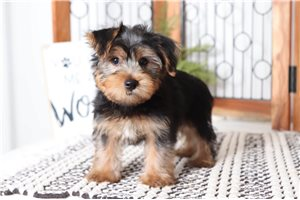 Picture of Henrick Yorkie