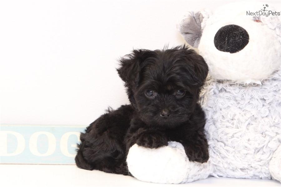 Winston Yorkiepoo Yorkie Poo Puppy For Sale Near Ft Myers Sw