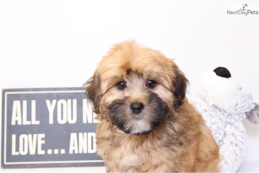 Franky: Yorkiepoo - Yorkie Poo puppy for sale near Ft Myers / SW