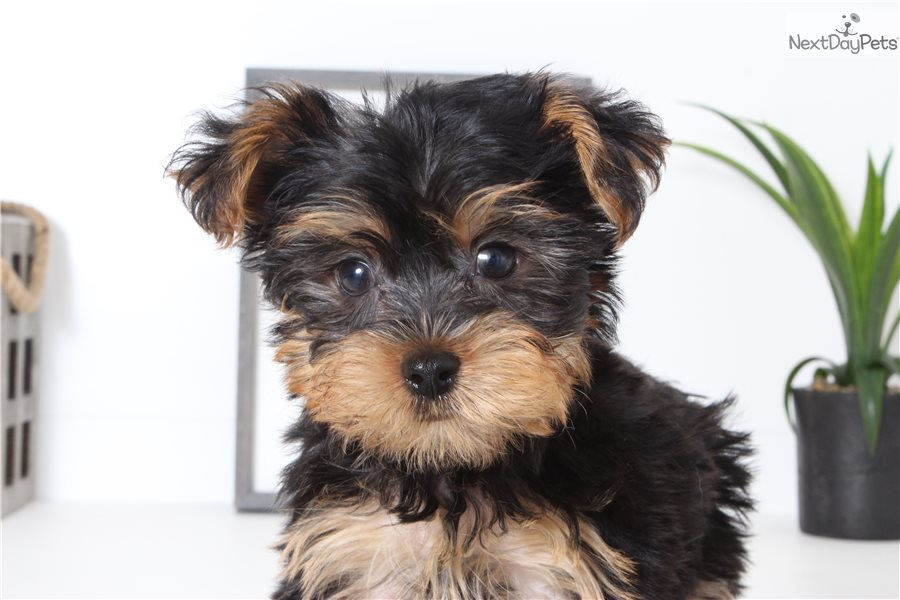Danny Yorkshire Terrier Yorkie Puppy For Sale Near Ft Myers Sw
