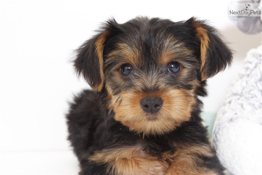 Simon Yorkshire Terrier Yorkie Puppy For Sale Near Ft Myers Sw