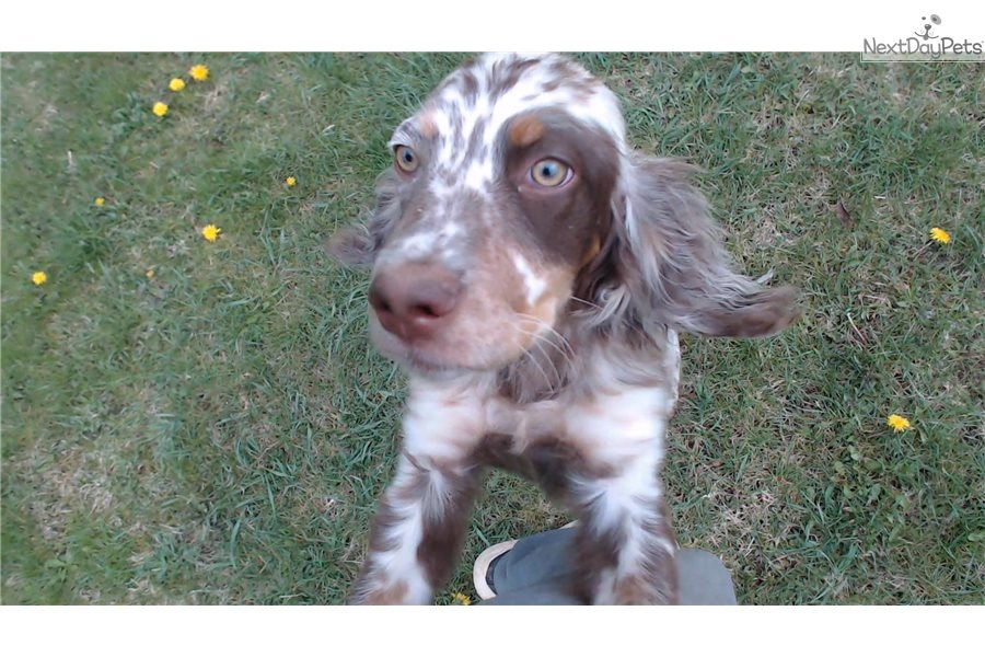 Bruno English Setter Puppy For Sale Near Pittsburgh Pennsylvania