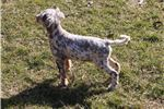 Picture of Llewellin Setter Girl - Jerin - Born 12/07/2017