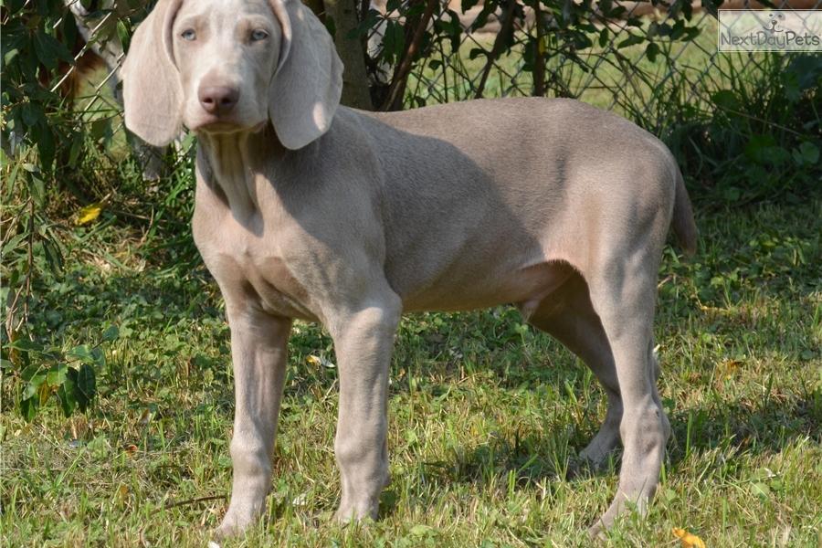 Sylvio Weimaraner Puppy For Sale Near Pittsburgh Pennsylvania
