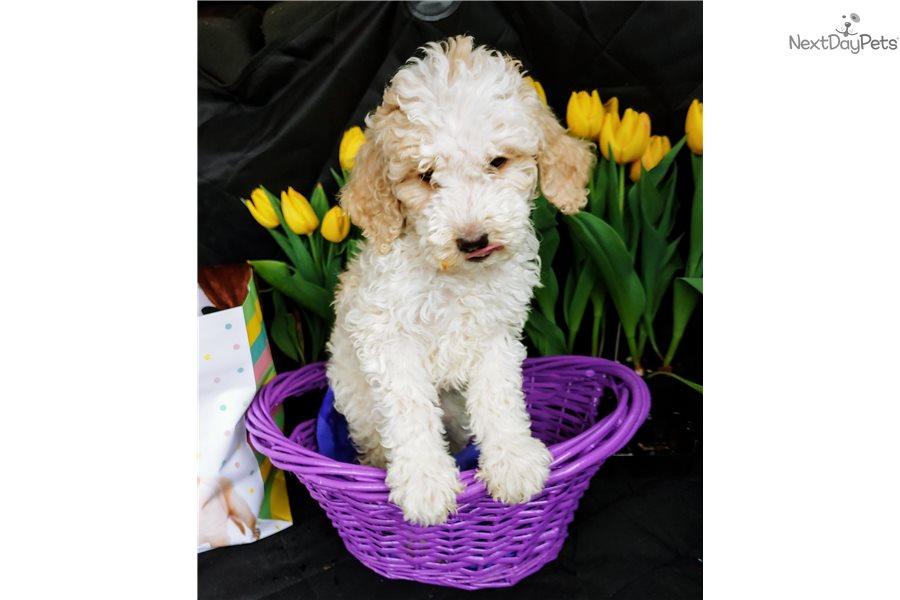 Chloe Poodle Standard Puppy For Sale Near Portland Oregon