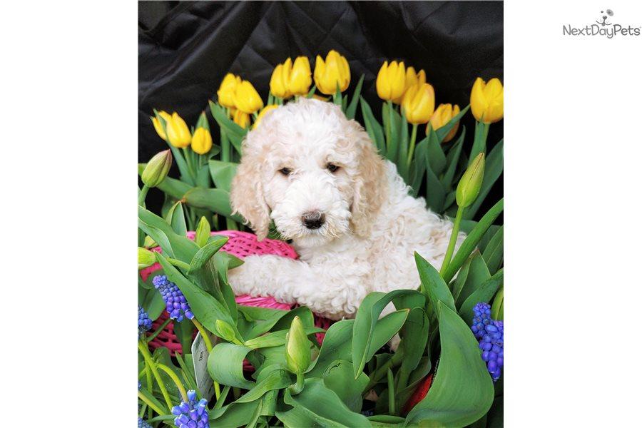 Honey Poodle Standard Puppy For Sale Near Portland Oregon