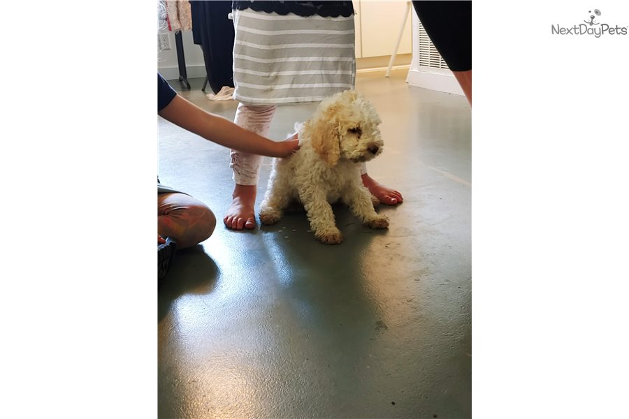 Puppychloetiny Poodle Standard Puppy For Sale Near