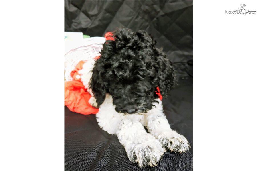 Tippy Poodle Standard Puppy For Sale Near Portland Oregon