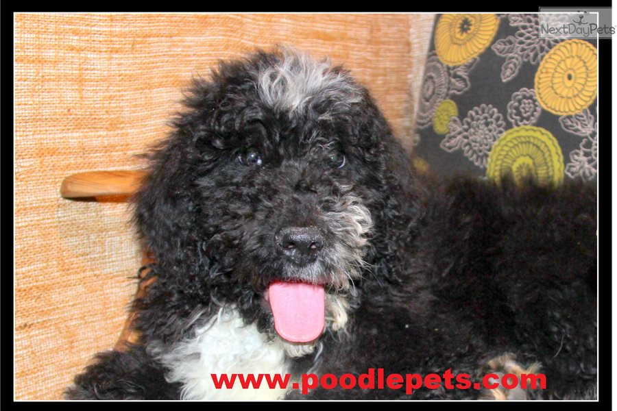 Sheepadoodle: Sheepadoodle puppy for sale near Portland, Oregon