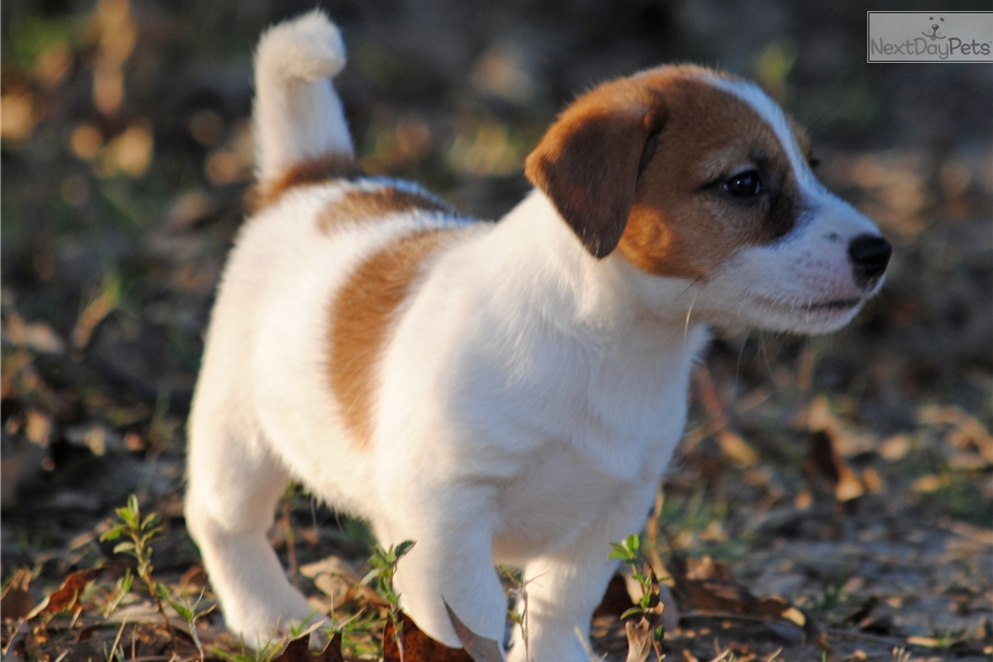 Marley Jack Russell Terrier Puppy For Sale Near Houston Texas