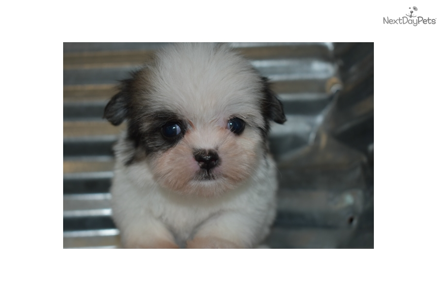 Snickerdoodle: Mal-Shi - Malshi puppy for sale near Tulsa
