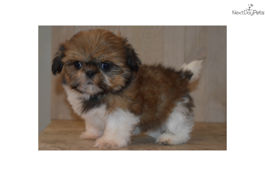 shih tzu puppies for sale in oklahoma coyote jane shih tzu puppy for sale near tulsa oklahoma 2491