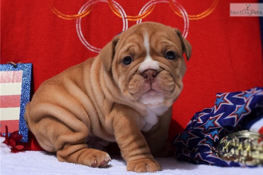 samson english bulldog puppy for sale near detroit metro, michigansamson english bulldog puppy for sale near detroit metro, michigan a4e02147 c781