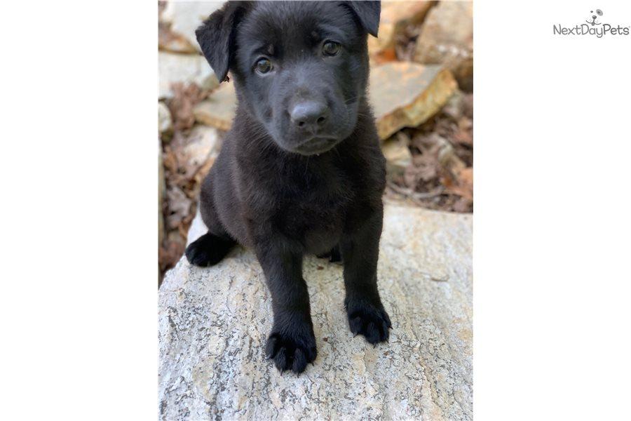 German Shepherd puppy for sale near Atlanta, Georgia