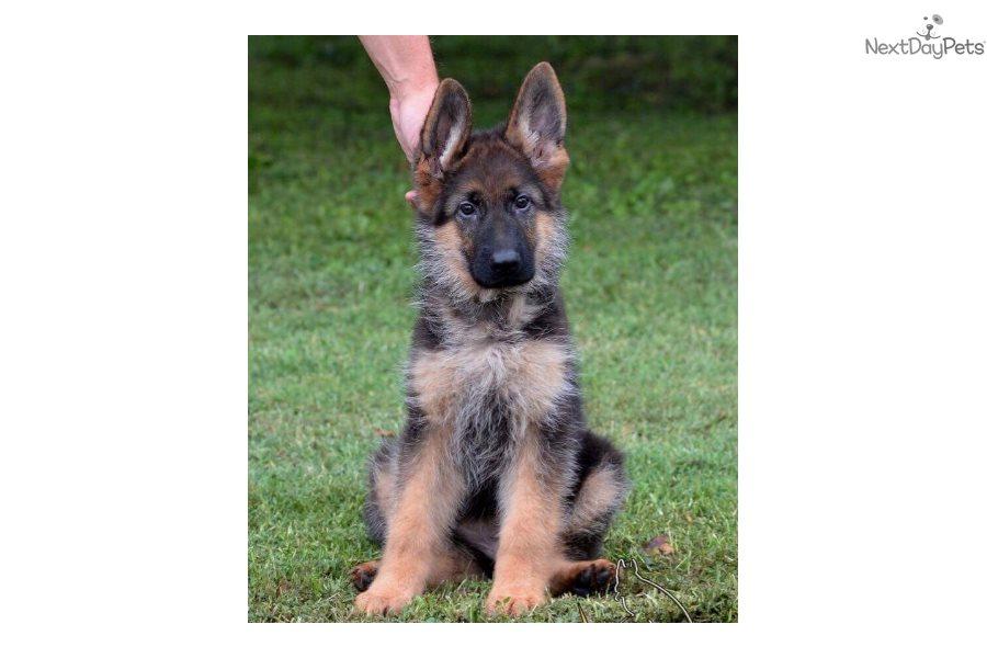Dallas: German Shepherd puppy for sale near South Florida