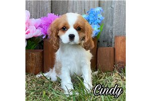 Cindy | Puppy at 10 weeks of age for sale