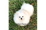 Picture of Snow White Pomeranian puppy from Imported Champion