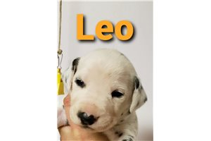 AKC LUA Leo | Puppy at 8 weeks of age for sale