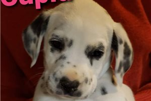 ACA LUA Cupid  | Puppy at 8 weeks of age for sale