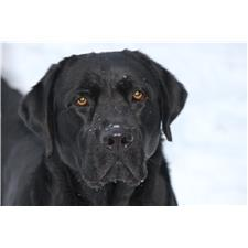 View full profile for Smith Country Labradors