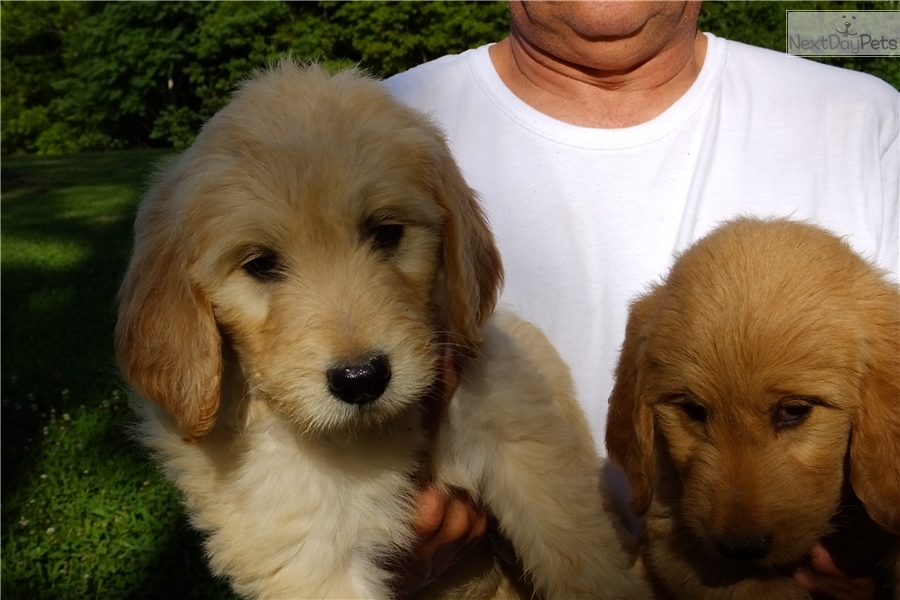 Maggie Goldendoodle Puppy For Sale Near Cookeville Tennessee
