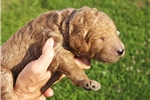 Puppies for Sale from Morningglory Doodles - Member since