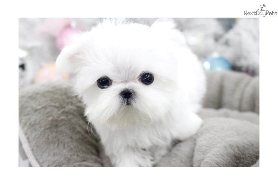 maltese puppies near me maltese puppy for sale near seattle tacoma washington 1806