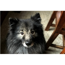 View full profile for The Keeshond House