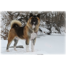 View full profile for Royal Akitas