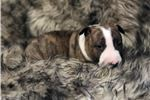 Picture of Brindle girl